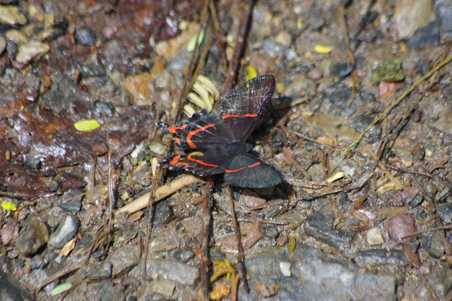 Ancyluris aulestes jocularis Stichel, 1909. Cascade entre Cachipay et San Rafael, à l'est de Santa María en Boyacá, 890 m (Boyacá, Colombie), 3 novembre 2015. Photo : J.-M. Gayman