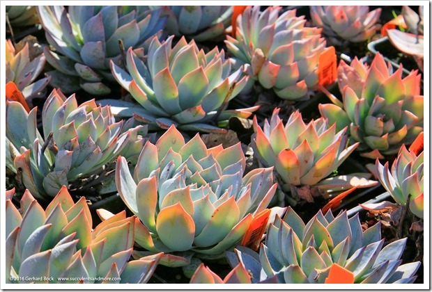 160206_Annies_022_Echeveria-peacockii