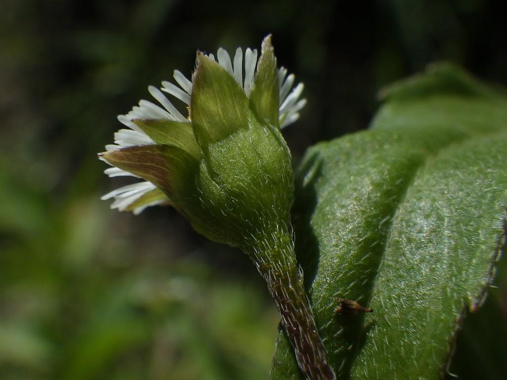 タカサブロウの総苞
