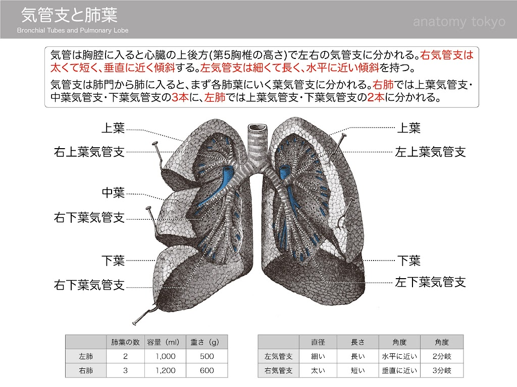 2017-a20-Bronchial-Tubes-and-Pulmonary-Lobe.jpg