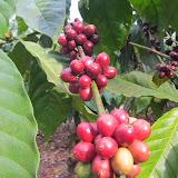 Coffee, Tholpetty (Wayanad), India