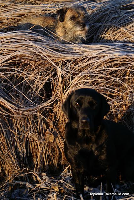 peltomaisema labradorinnoutaja borderterrieri metsästys