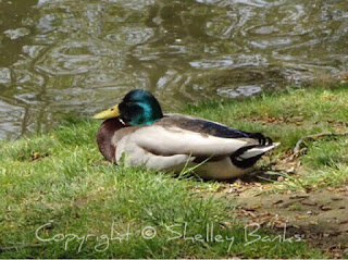 Mallard. Duck.,Carassonne. Copyright © Shelley Banks, all rights reserved.