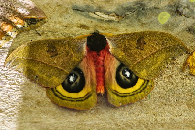 Hemileucinae : Automeris kopturae Lemaire, 1982. Mount Totumas, 1900 m (Chiriqui, Panamá), 22 octobre 2014. Photo : J.-M. Gayman