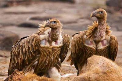 हिमालयी ग्रिफॉन गिद्ध | Himalayan Vulture About In Hindi