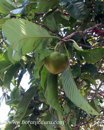 Dillenia indica, Elephant Apple, Chulta, Indian Simpoh