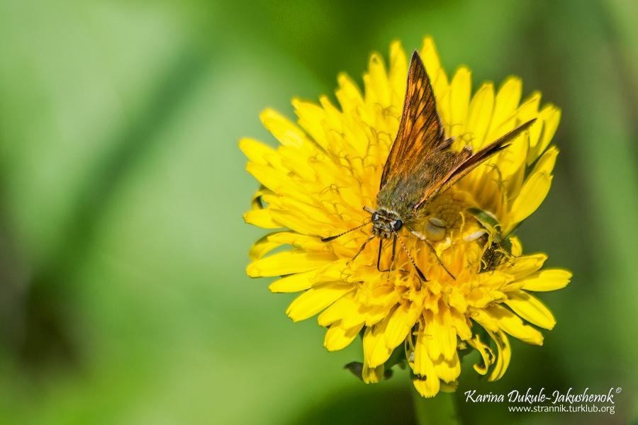 Палемон (Carterocephalus sp.)
