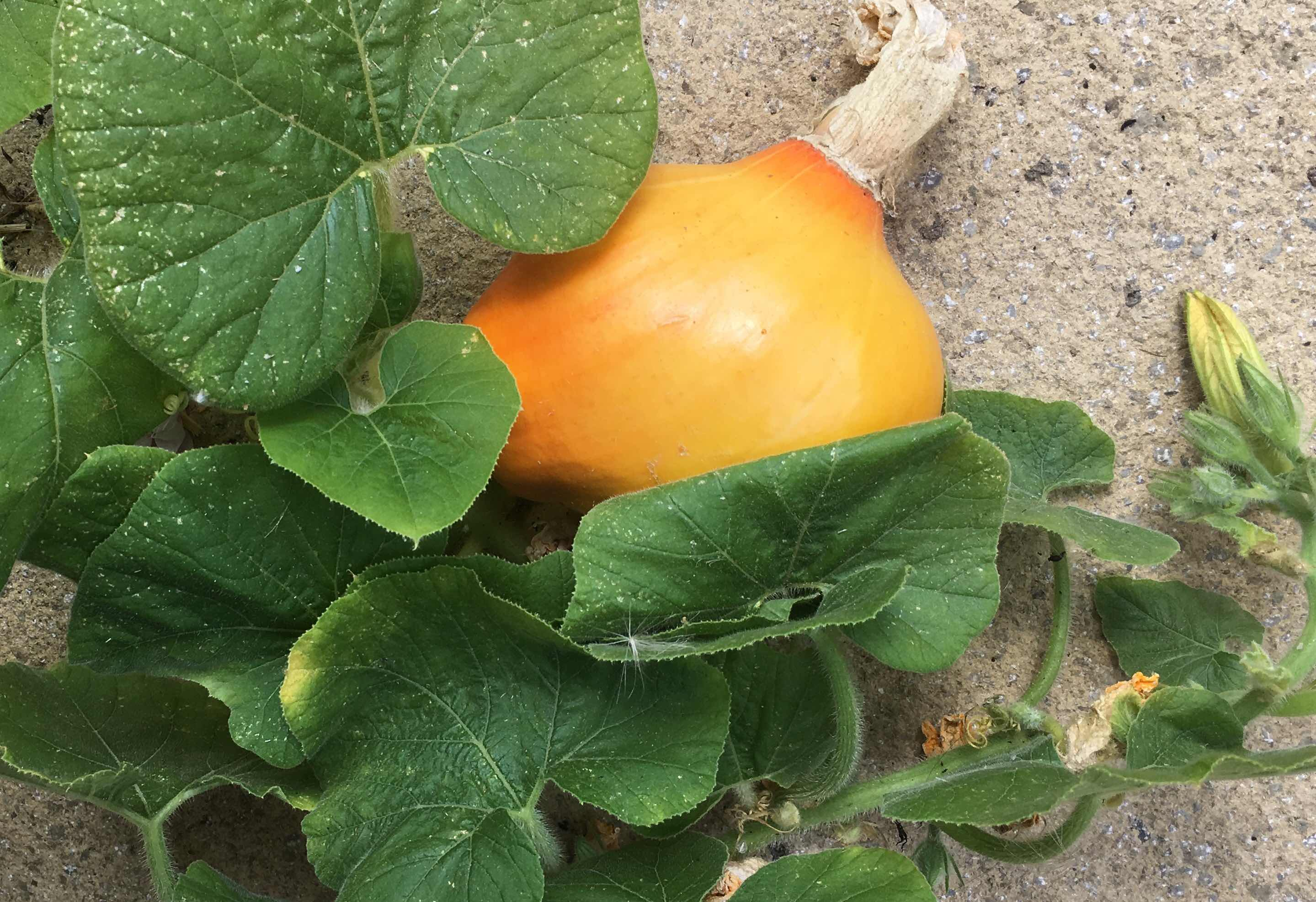 Early pumpkin fruit pictured in July