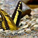 Papilio thoas cinyras MÉNÉTRIÉS, 1857. Confluent des ríos Mula Muerte et Zongo  (700 m), à l'ouest de Caranavi (Yungas, Bolivie), 15 décembre 2014. Photo : Jan Flindt Christensen