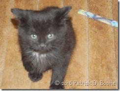 black kitten 01