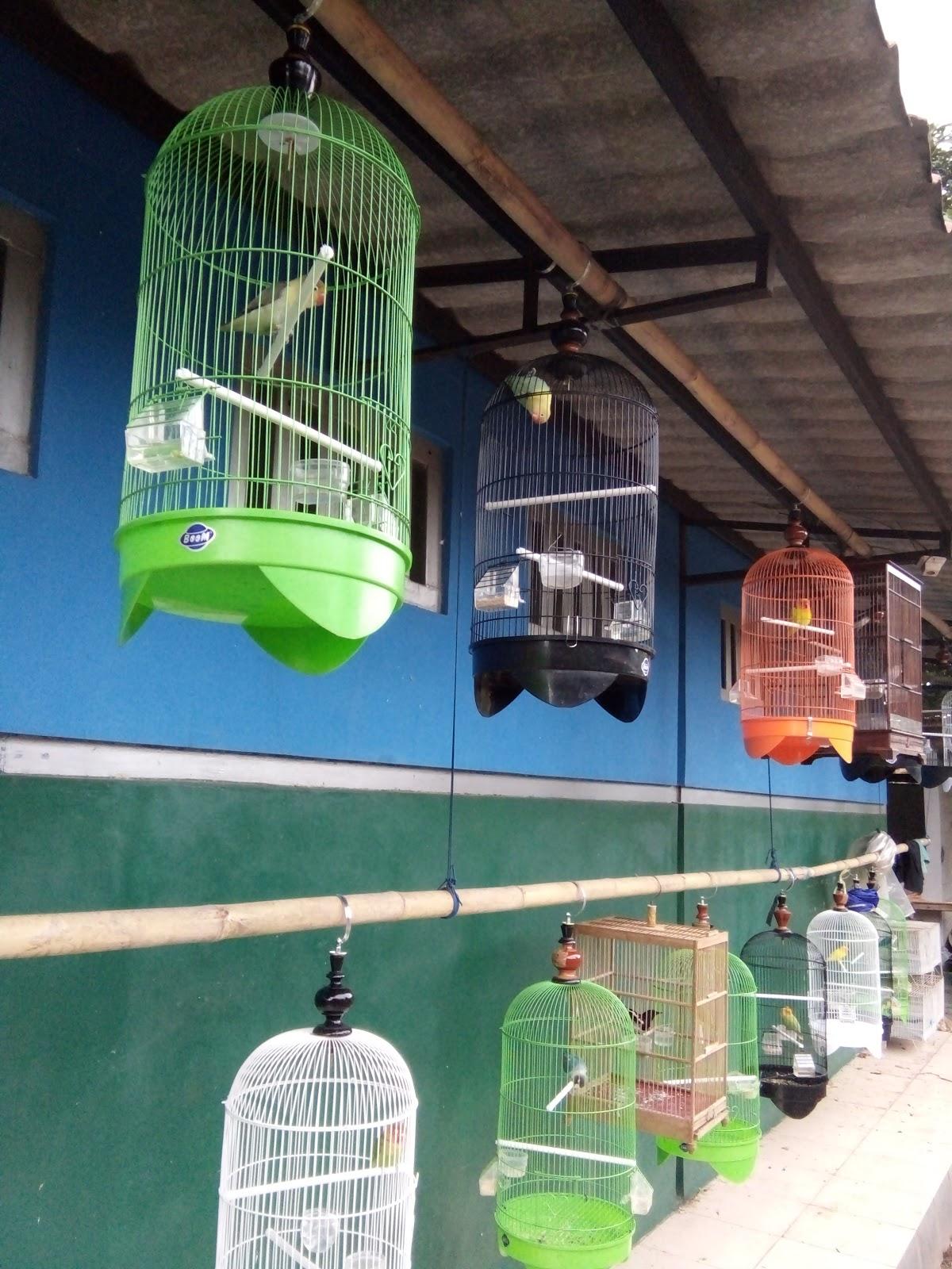 Download 1080+ Foto Gambar Burung Lovebird Jawara  Paling Unik Gratis