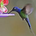 Beija-flor-tesoura (Swallow-tailed Hummingbird)