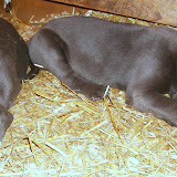Napping puppies-Gunny & Baggenstos boy!
