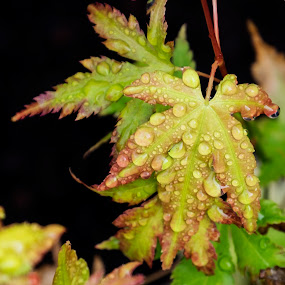 Acer Leaves Water Droplets by Andrew Robinson - Nature Up Close Leaves & Grasses ( water, water drops, acer, rain drops, leaf, leaves, rain )