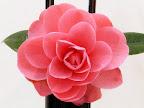 桃〜濃桃色 外弁は色が濃い 列弁〜螺旋咲き 肉厚 散り性 大輪