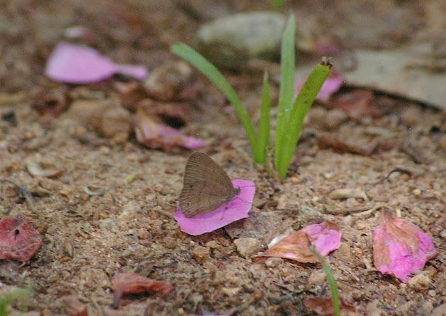 Satyrinae : Pseudodebis valentina CRAMER, 1779. Pulso (Ubatuba, SP), 12 février 2011. Photo : J.-M. Gayman