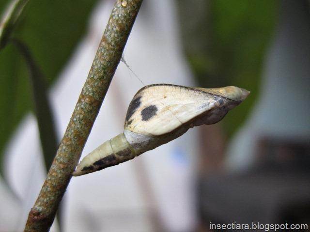 kepompong kupu-kupu Leptosia nina siap menetas