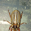 10 Lined June Beetle