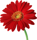 Red_Gerber_ Daisy.png