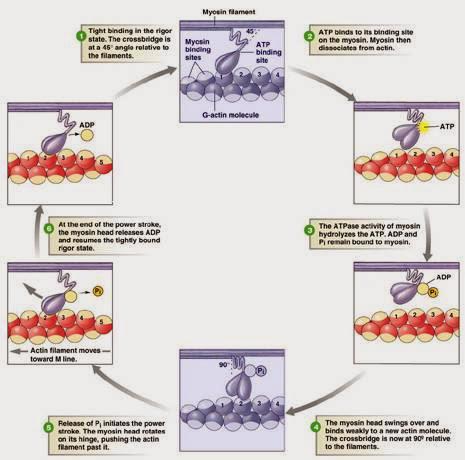 橫橋週期(Cross Bridge Cycle) - 小小整理網站 Smallcollation