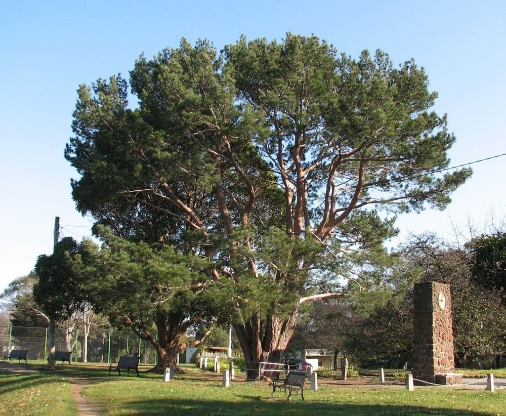 gallipoli-lone-pine-tree-4