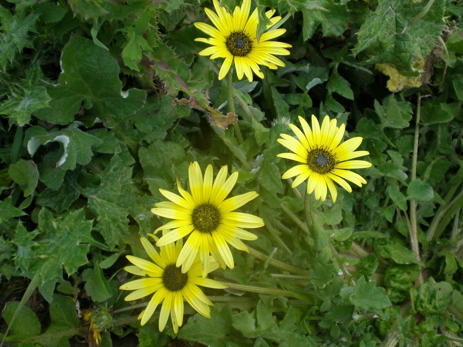 por Erva Gorda, é uma planta herbácea de pequena envergadura, de
