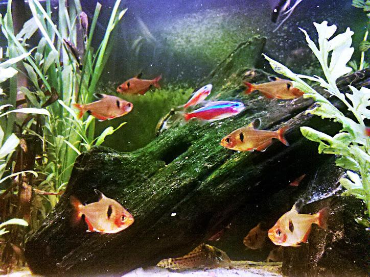 [Votação] 7º Concurso AquaPeixes de Fotografias -Tema Peixes Cardumeiros e Peixes em Grupo- IMG_20121223_214546