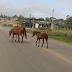 Altinho-PE: Animais soltos na pista preocupam motoristas coloca Transeuntes em alerta de acidentes na PE 149