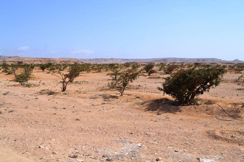 frankincense-wadi-dawkah-3
