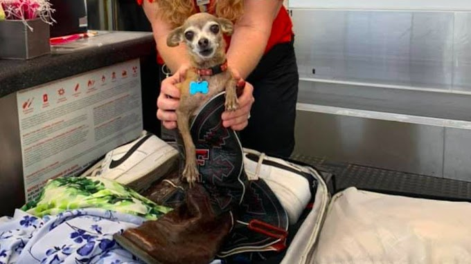 Donos encontram chihuahua em mala após serem notificados por excesso de bagagem