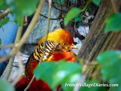 French Village Diaries wildlife in France golden pheasant