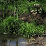 Бадан у ручья