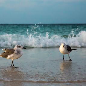Beach Birds by Sarah Noonan - Animals Birds ( gulf coast, ocean, beach, birds, destin )