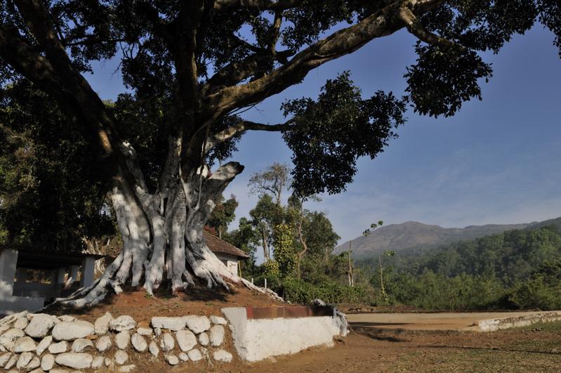 29_kakkabe_pipal_tree
