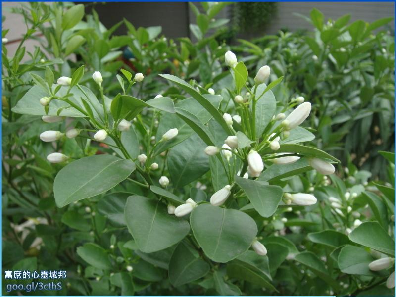 Calamondin flowers photos