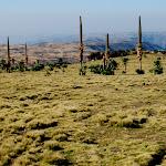 W wyższych partiach gór wyrosły tysiace lobeli-olbrzymów