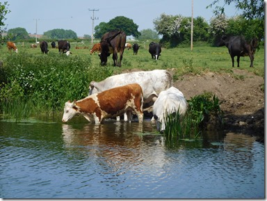 11 thirsty cows