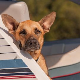 by Myra Brizendine Wilson - Animals - Dogs Playing ( pets, belgian malinois, belgian shepherd, brown dogs, brown dog, canine, water, boat )
