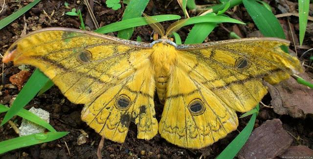 Saturniidae : Copaxa flavina flavina DRAUDT, 1929, ou bien C. joinvillea SCHAUS, 1921, mâle. Environs de Curitiba, Paraná. 21 février 2013. Photo : Mauricio Skrock