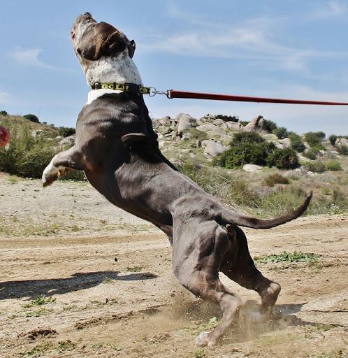 Những chú chó pitbull đẹp nhất thế giới
