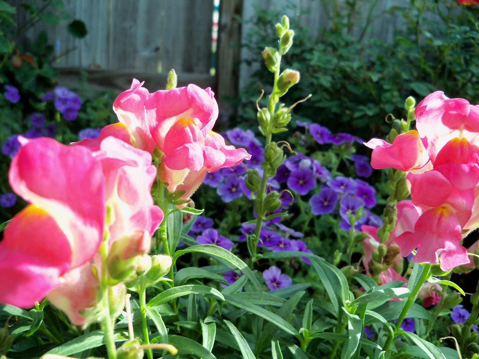 Gardening 2011 - 100_8161.JPG