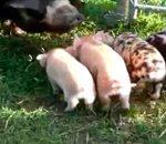 حنان الام عند الخنازير