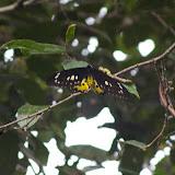 Ornithoptera rothschildi KENRICK, 1911, femelle, Meni, Arfak, août 2007. Photo : J.-M. Gayman