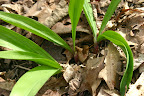 Ramps (Allium tricoccom) April 24.