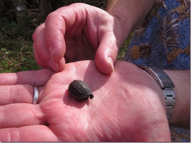 tortoisebabyIMG_4362