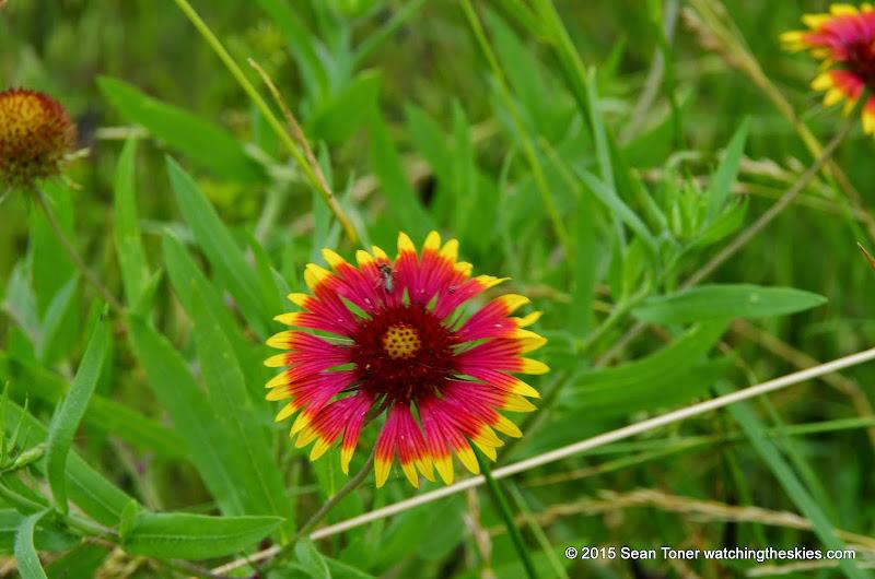05-26-14 Texas Wildflowers - IMGP1359.JPG