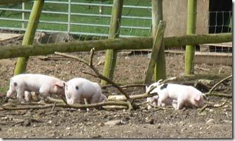 8 gloucester old spot piglets