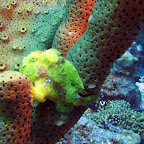Frogfish at Ol' Blue