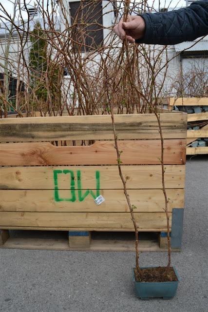 Коріння з довгим стеблом