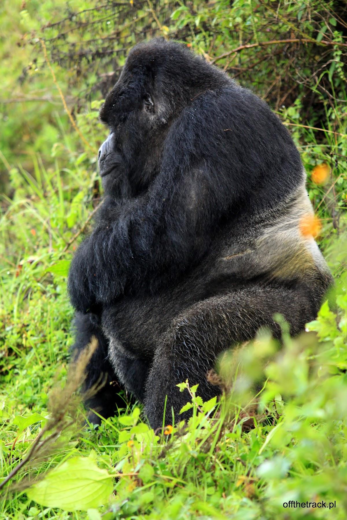Goryl silverback, The Virunga massif region, Uganda